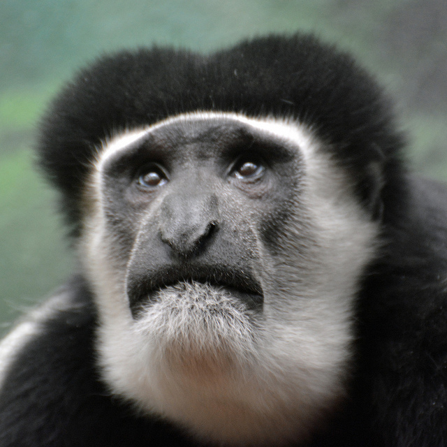 A monkey looking like I do when searching for words